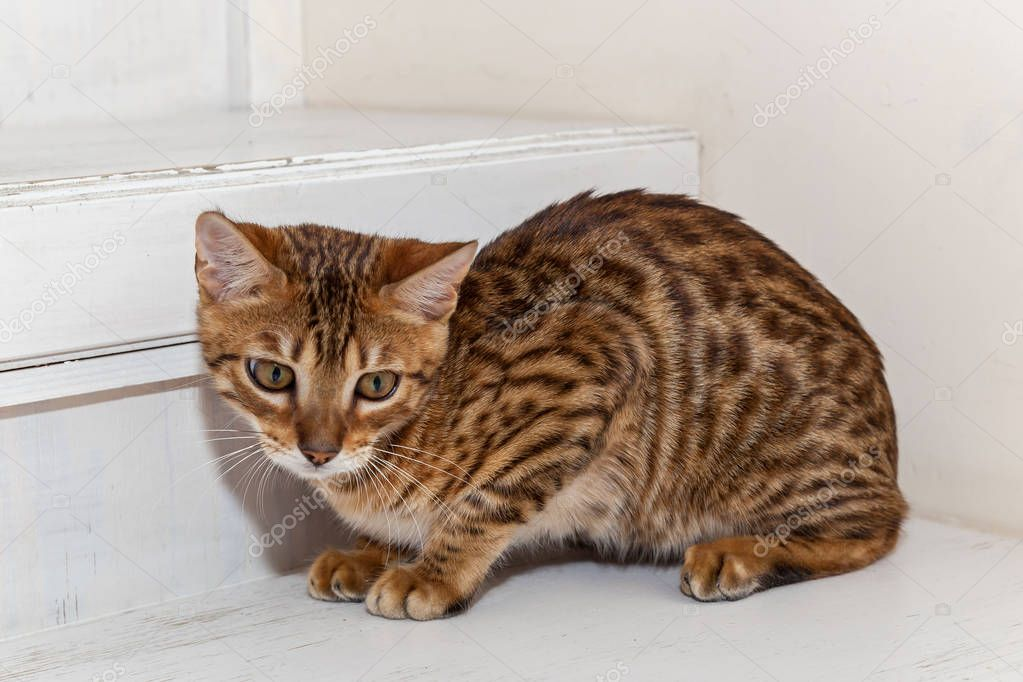 Bengali domestic kitten