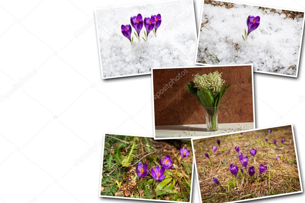 collages of purple crocuses on a white background