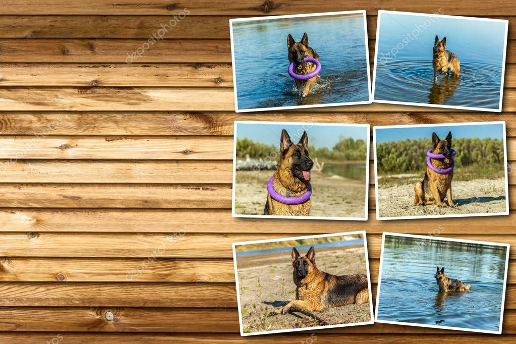 Collage german shepherd, man's best friend, favorite, pet, guard dog, sh