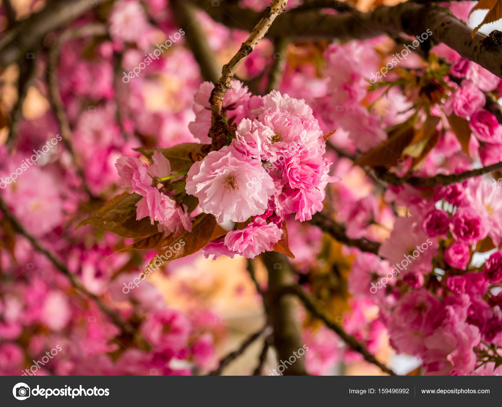 Pink Flowers Branches Of Japanese Cherry Tree Stock Photo Lugrin