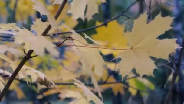světlé listí