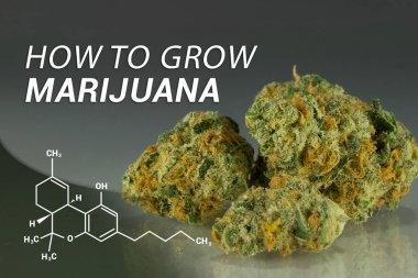 How to Grow Marijuana   Grow Weed  Medical Marijuana   Cannabis