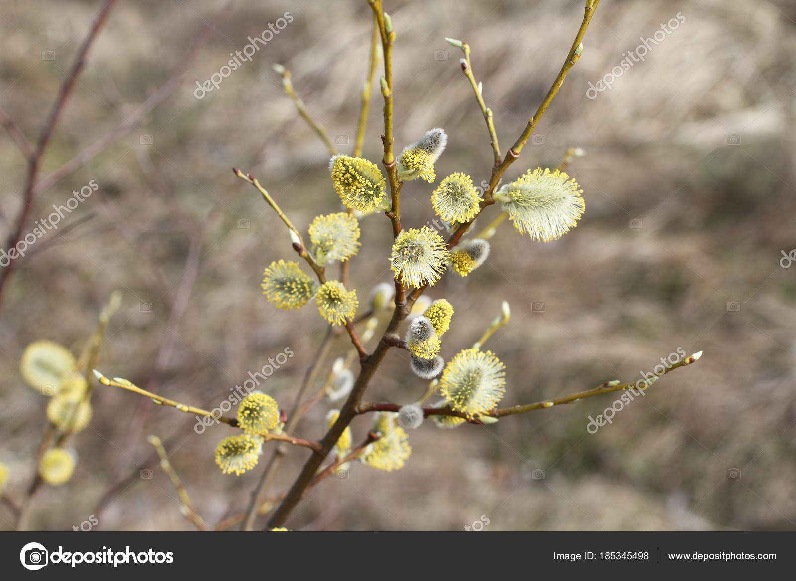 Blossoming buds on pussy willow against dry grass background