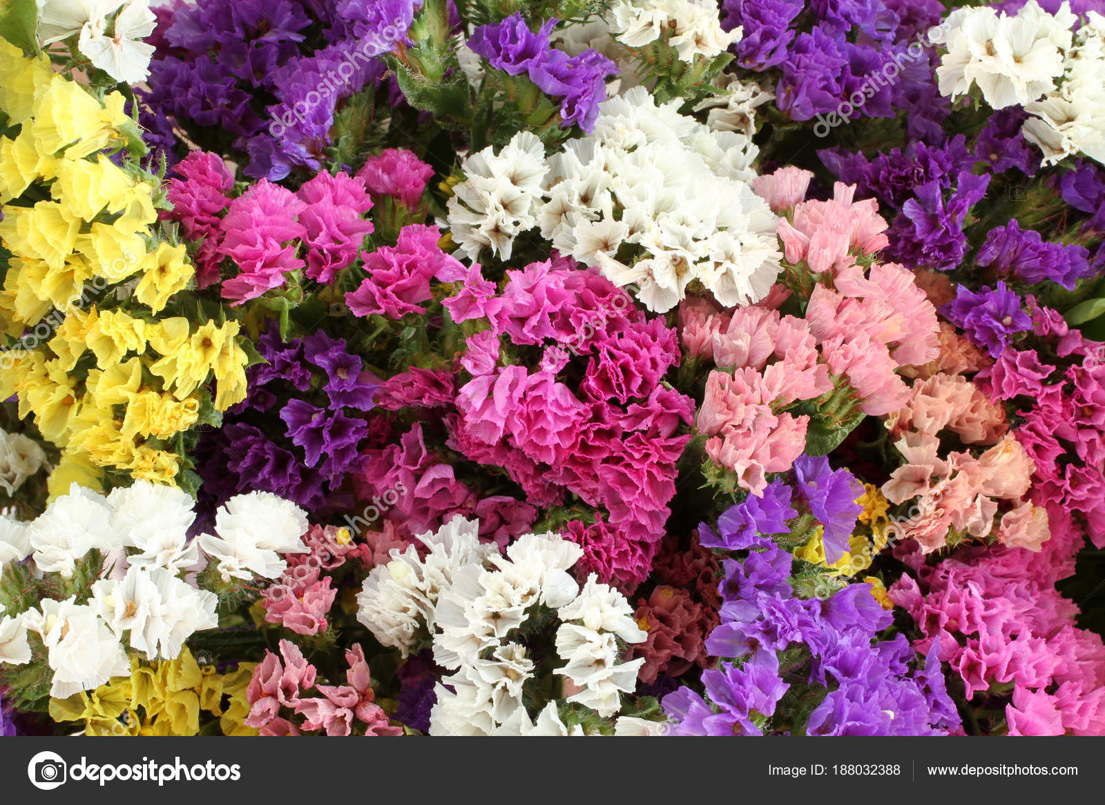 Pink Purple Yellow White Statice Flowers Limonium Background Stock