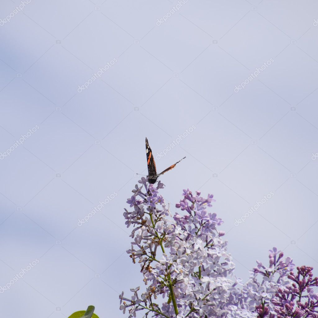 Lilac flowers on the branches of a butterfly admiral