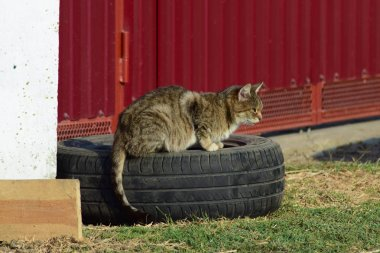 The old tabby cat sitting on a car wheel at the fence. Old age house cats.