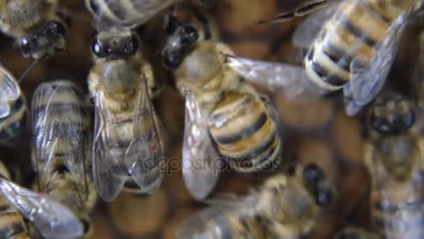 Včely medonosné na domácí včelařství