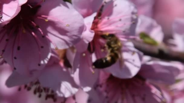 Opylování květin od včely broskev.