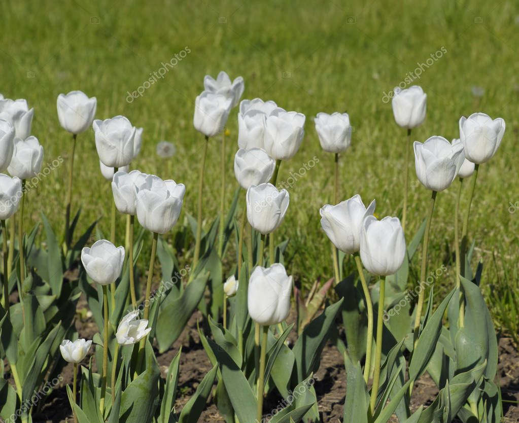 A flower bed with white tulips. White tulips, bulbous plants. White flowers.