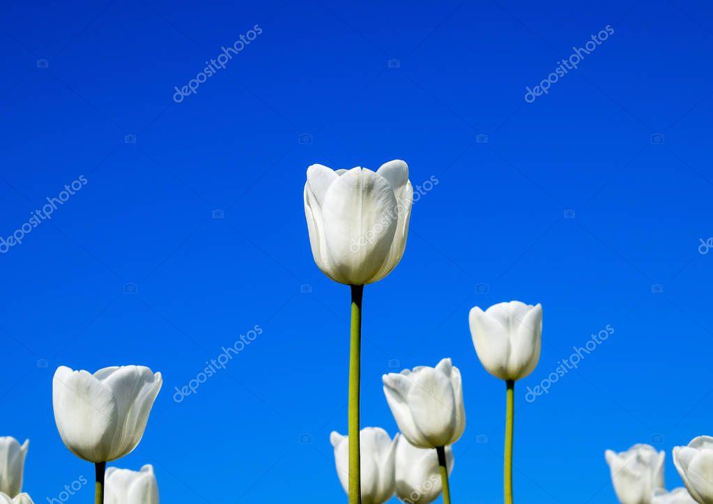 Better tulip flowers against the blue sky. A flower bed with tulips.