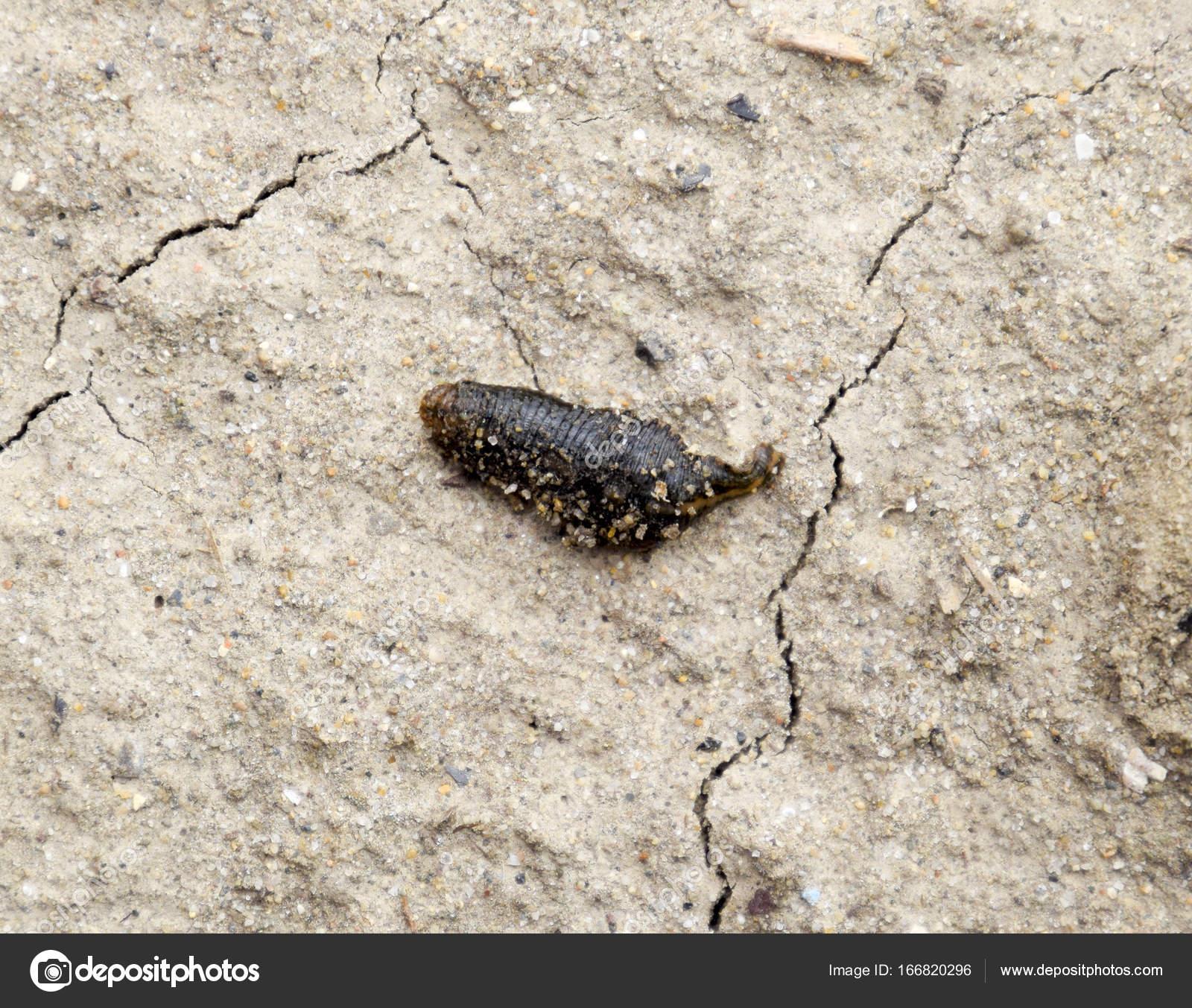 Small Leech Crawls Bare Soil Search Moisture — Stock Photo