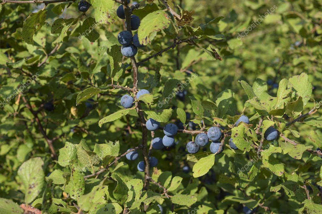 Berries of wild plum - a sloe