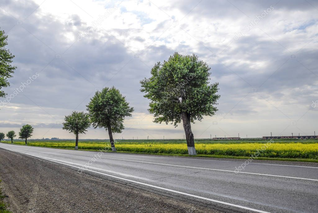 Asphalt road with trees on the roadside. Field of blossoming rap