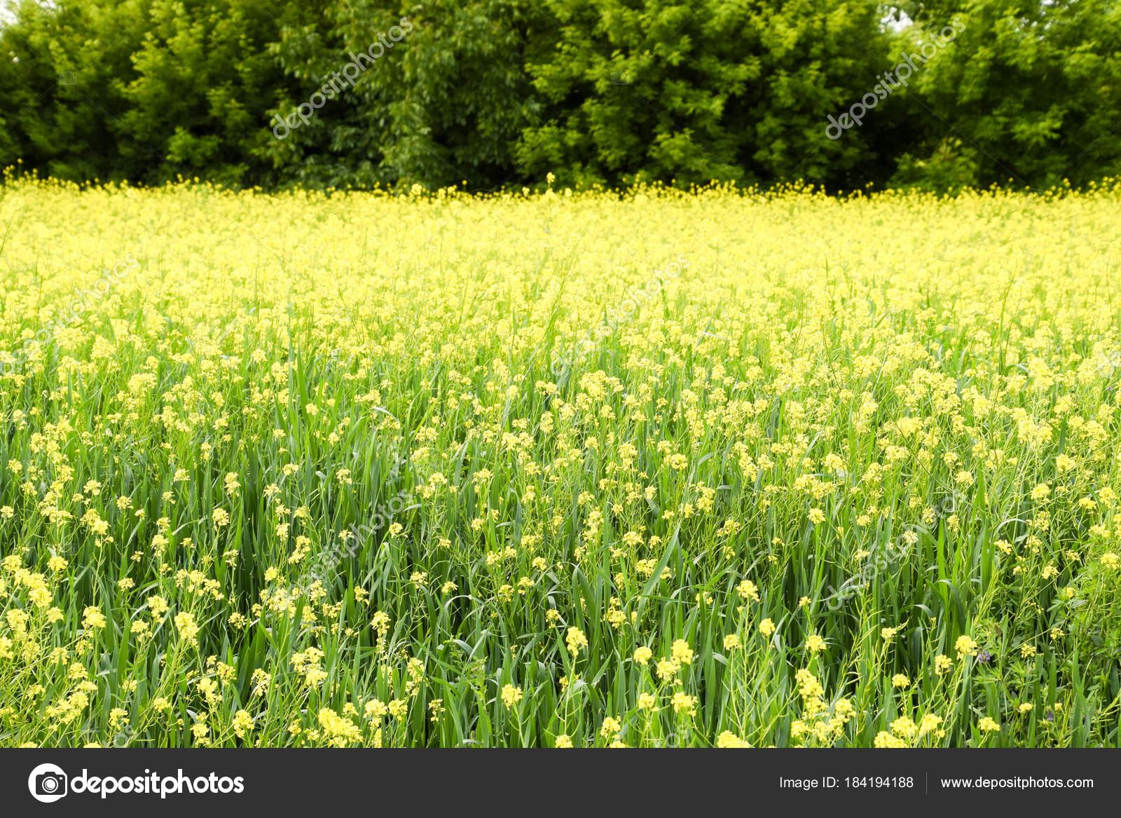 Rapeseed Field Yellow Rape Flowers Field Landscape Blue Sky Rape