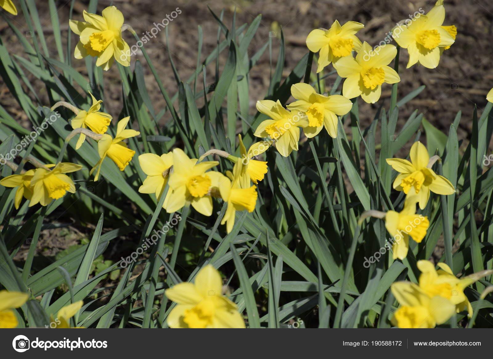 Jonquille Fleurs Jaune Plantes Bulbe Fleurs Printemps Dans Parterre