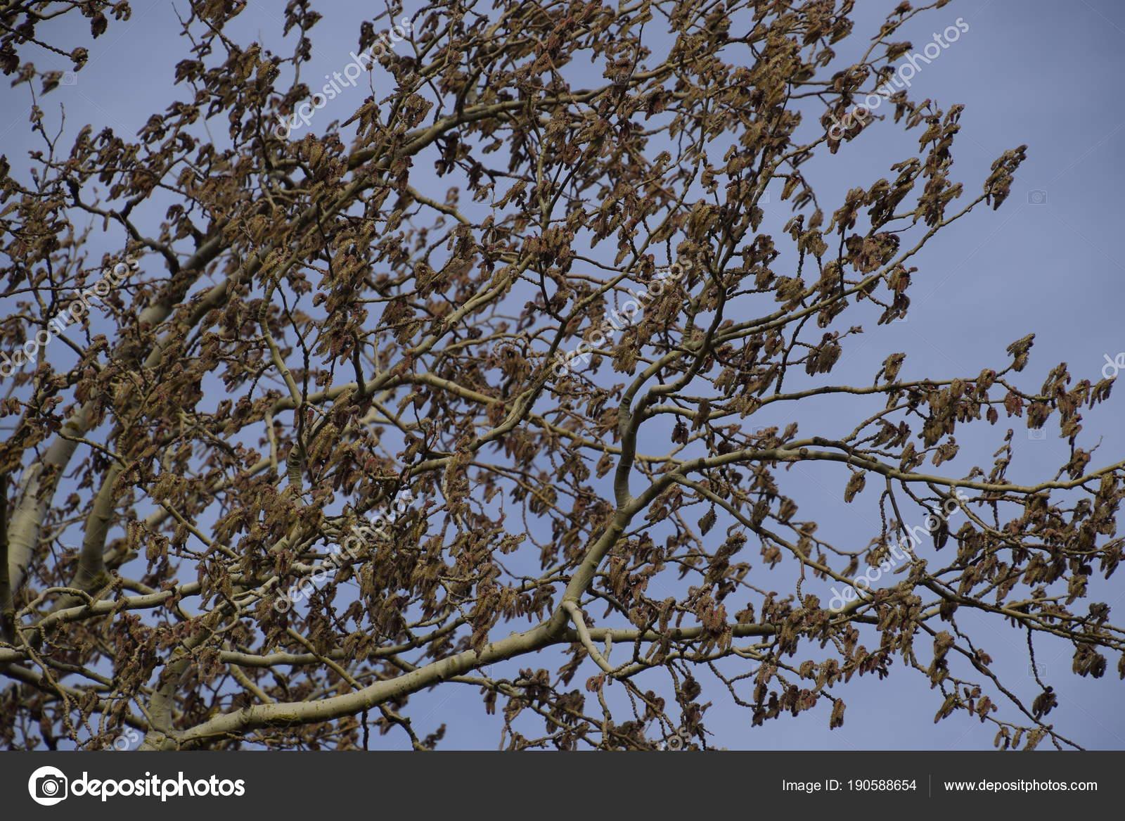 Blooming Silver Poplar Silver Poplar Tree Spring Poplar Fluff