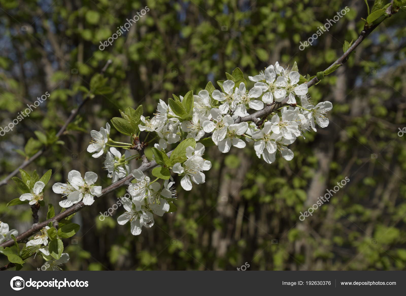 Flowering plum garden — Stock Photo © fotogigi85 #192630376