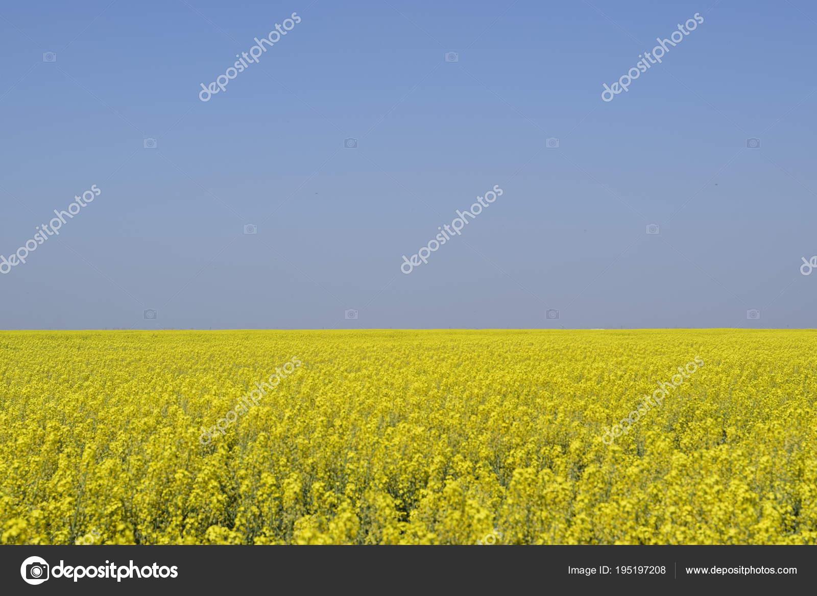Rapeseed Field Yellow Rape Flowers Field Landscape Blue Sky And