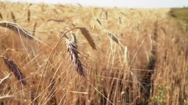 pšeničné uši za úsvitu