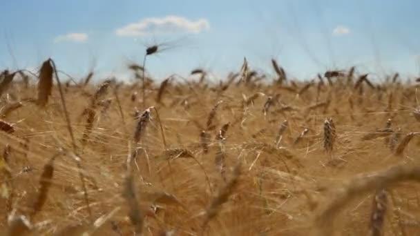 ears of wheat at dawn