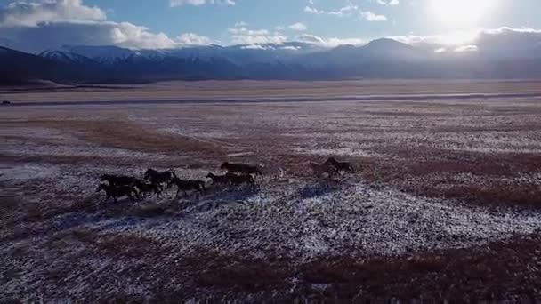 Divoké koně stádo běží na louku letecké létat nad zimní stepi se sněhem příroda divoká krása zvířata hřebci tryskem Sunset zářící dobrodružství svoboda ekologie splácení