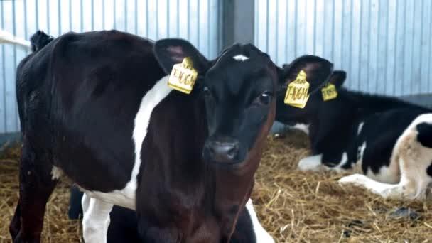 Fiatal tehenek, borjak az istállóban. Tehénistálló vidéken. Sok tehén van egy tehénházban. A borjak bőgnek. Mezőgazdasági ipar