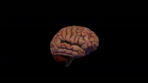 Realistic 3d brain model. The brain rotates on a black background.