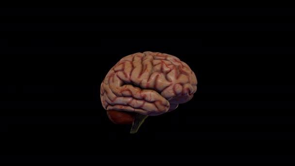 Realistický 3D model mozku. Mozek se otáčí na černém pozadí.