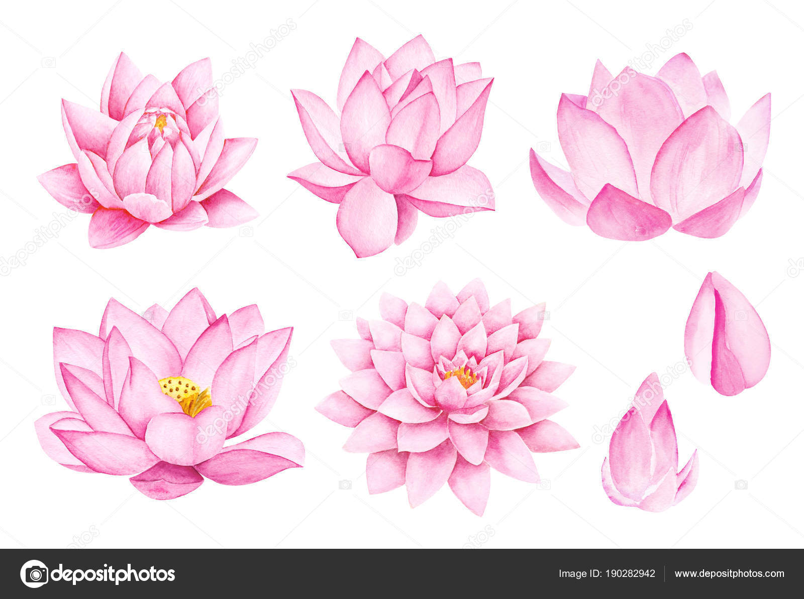 Beautiful Pink Lotus Flowers Watercolor Illustration Pure Water