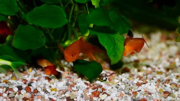 Red Swordtail Pair Xiphophorus Helleri Aquarium Fish Stock Video