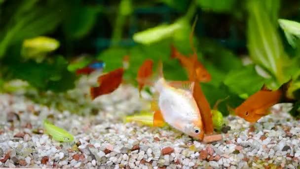 Krmení ryb v akváriu
