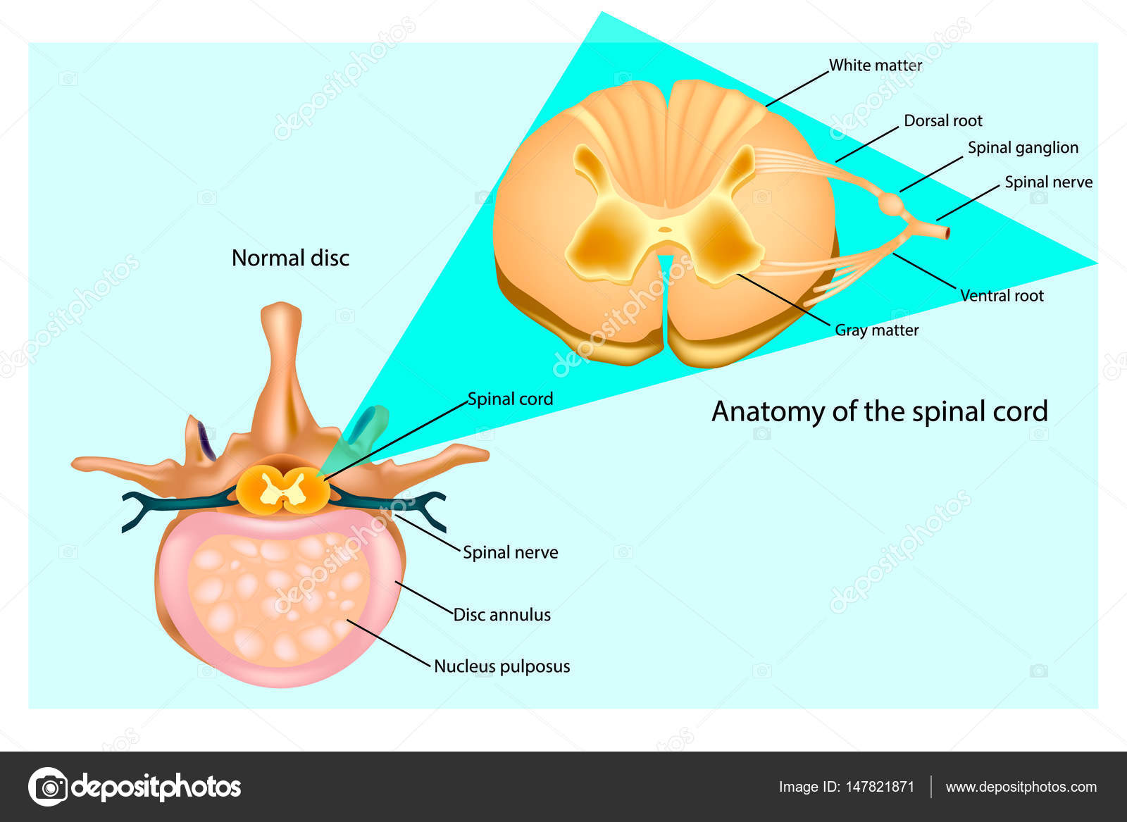 Structure of the Vertebral Column. Intervertebral discs and spinal ...