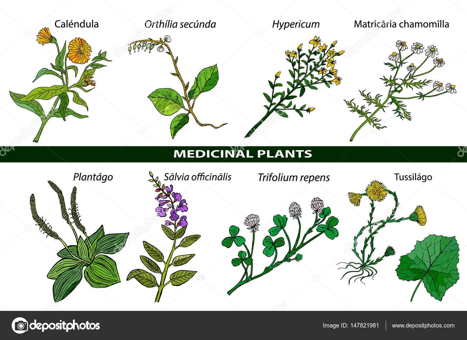 Conjunto de plantas medicinais ilustra o bot nica da for Plantas ornamentales del ecuador