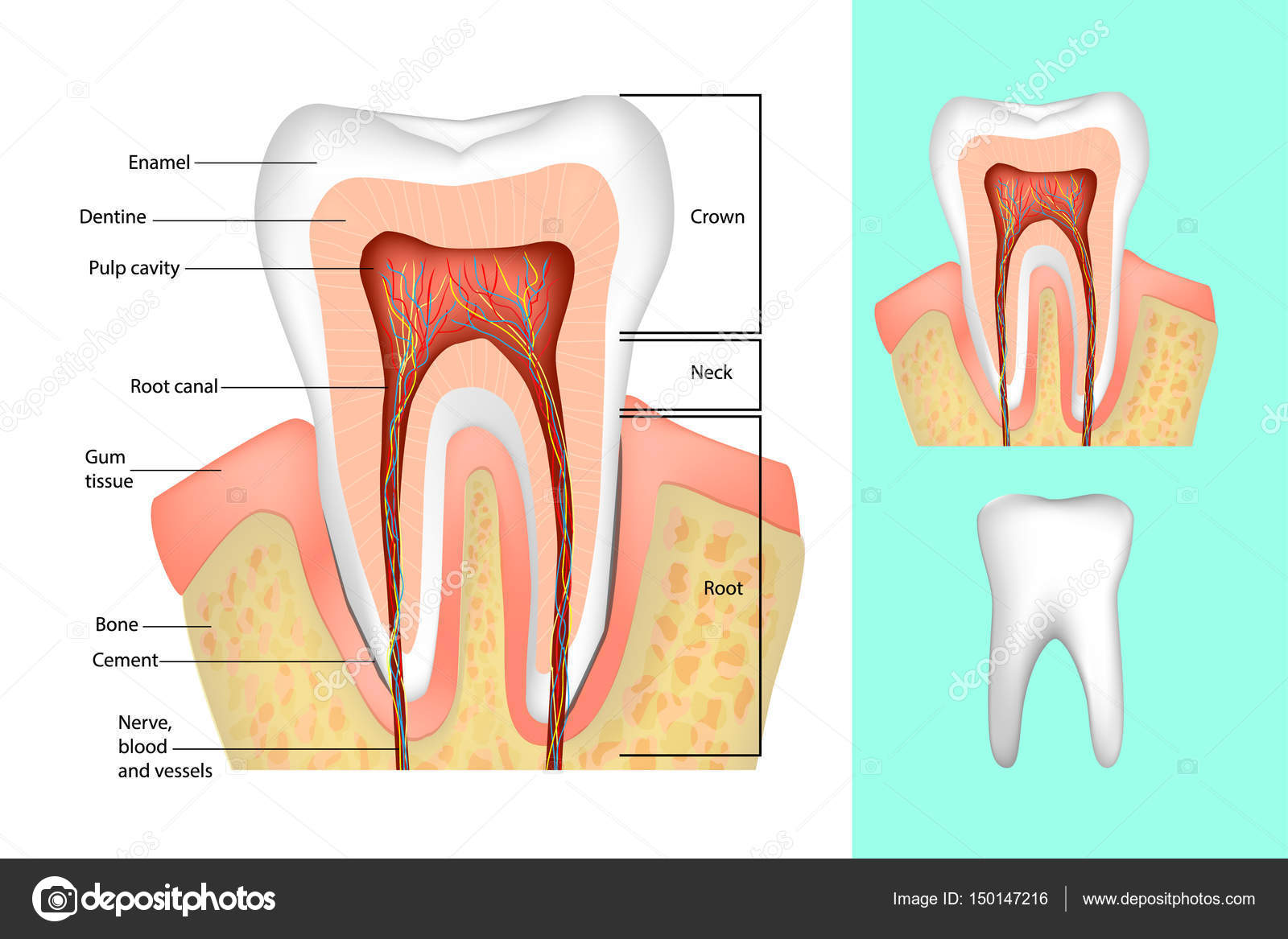 Tooth structure medical diagram of the structure of the inside tooth structure medical diagram of the structure of the inside cross section of the ccuart Images