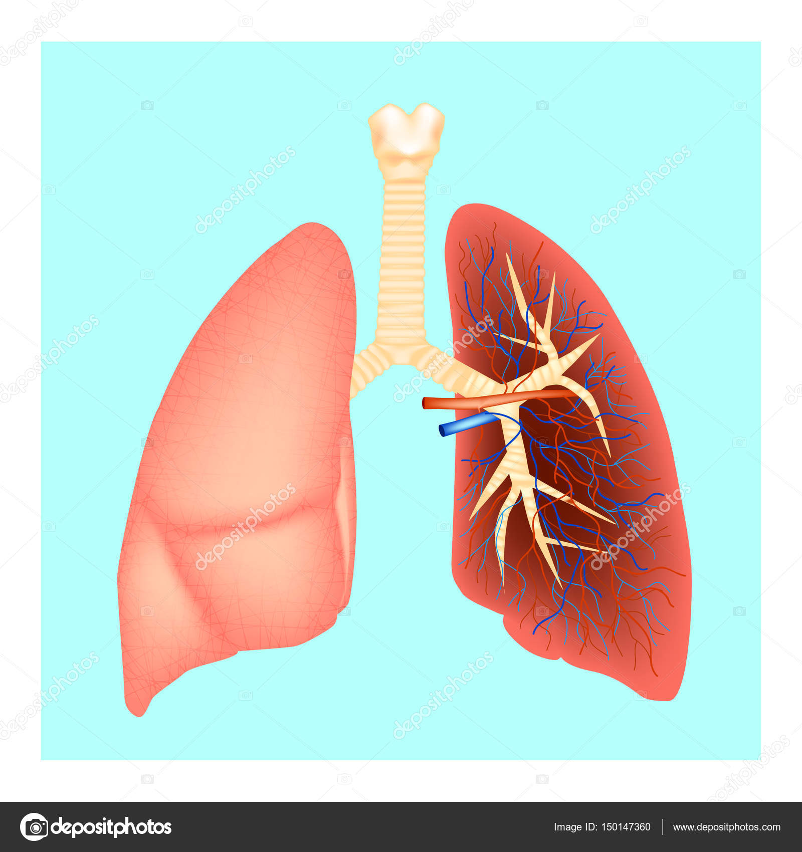Structure of the lungs. Human anatomy. Vector illustration — Stock ...