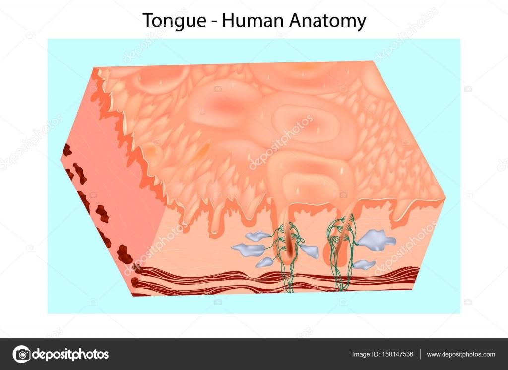 Struktur der menschlichen Zunge. Mundschleimhaut — Stockvektor ...