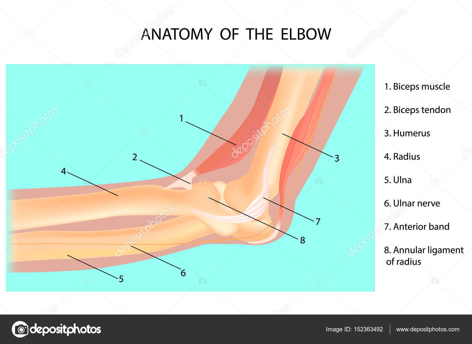 Anatomy Of The Elbow Cubitus Vector Illustration Stock Vector