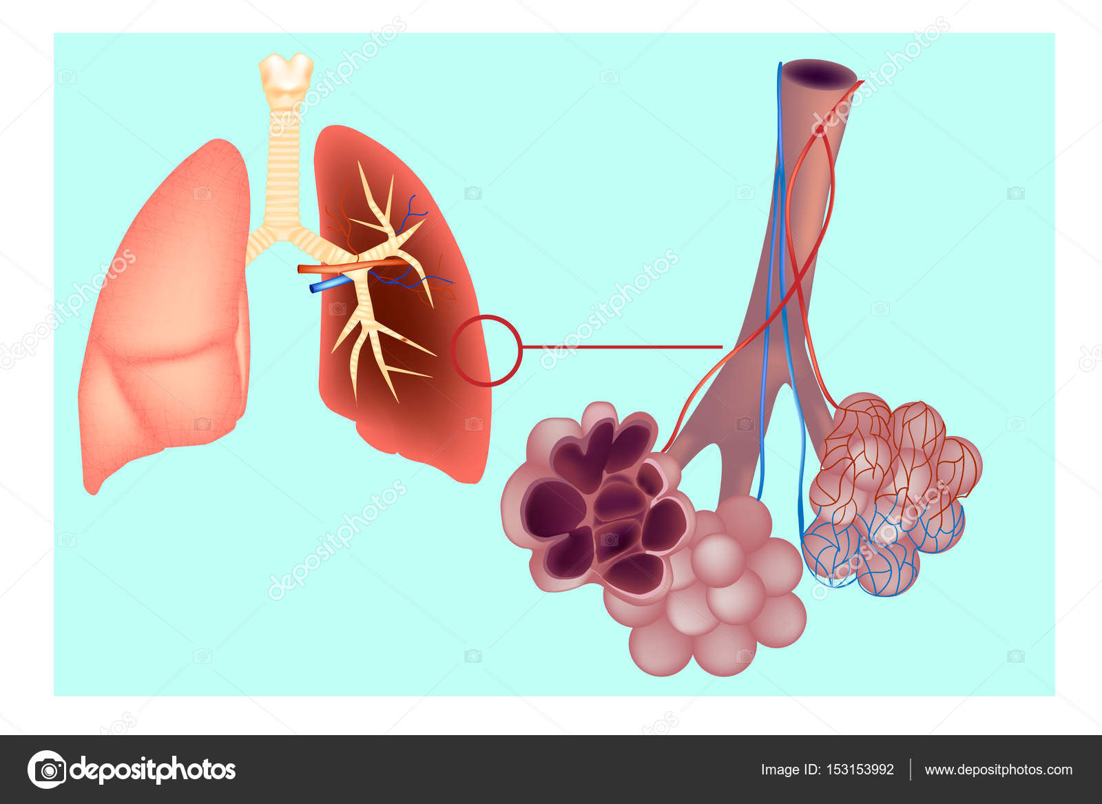 Diagram the pulmonary alveolus (air sacs) in the lung. The ...