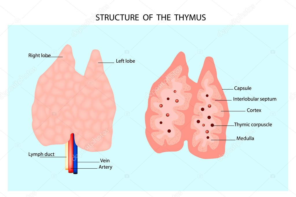 Thymusdrüse Tumor