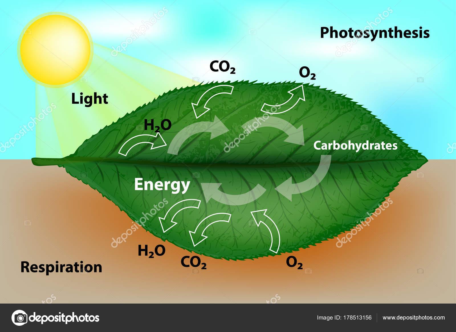 Fotosíntesis Respiración Celular