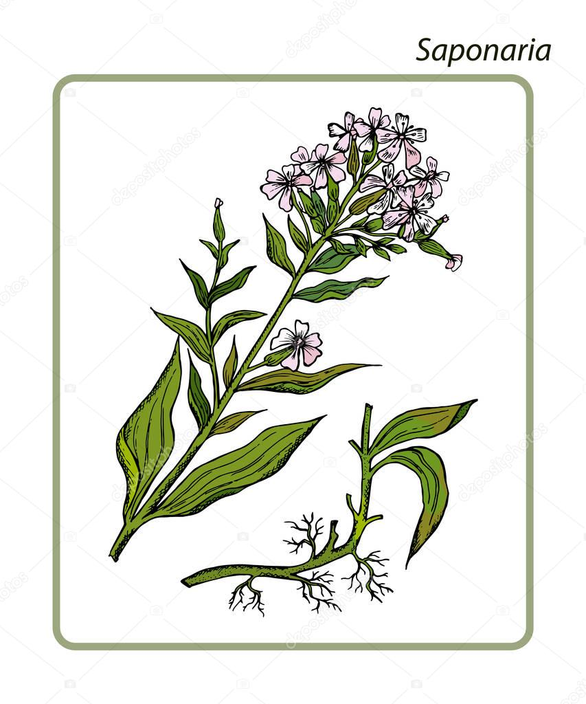 Common Soapwort, Saponaria officinalis, Bouncing Bet or Sweet William or Soapwort. Hand drawn botanical vector illustration