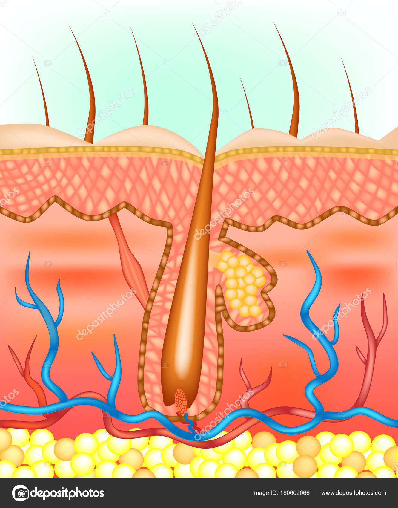 Anatomical Illustration Hair Follicle — Stock Vector © Sakurra ...