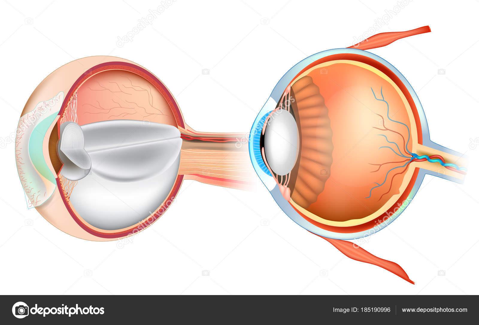 Auge Anatomie Illustration Querschnitt Des Menschlichen Auges ...