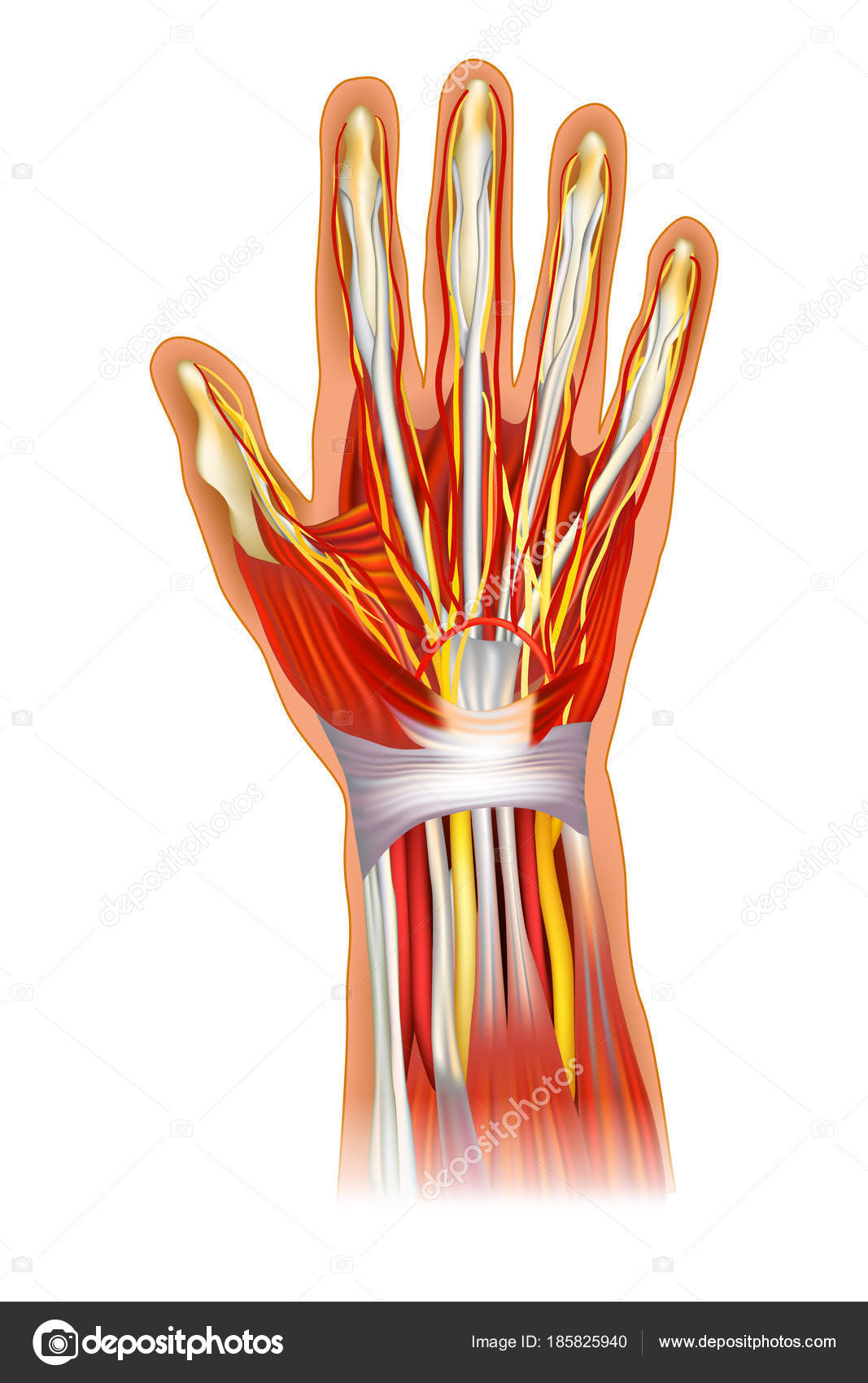 Human Hand Anatomy Illustration Anatomy Wrist Learning Bone Muscle ...