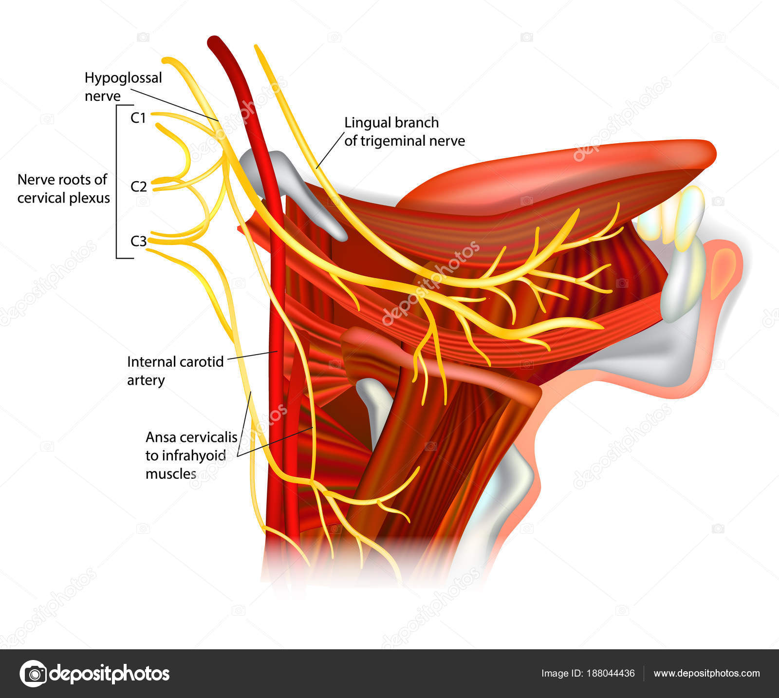 Cranial Nerves Hypoglossal Nerve Ansa Hypoglossi Muscles Supplied ...