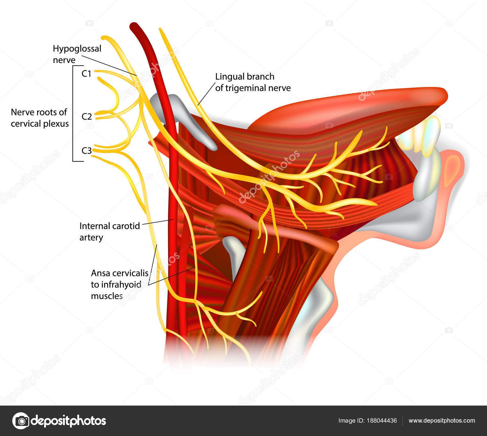 Hirnnerven Hypoglossal Nerv Ansa Hypoglossi Und Muskeln Durch ...