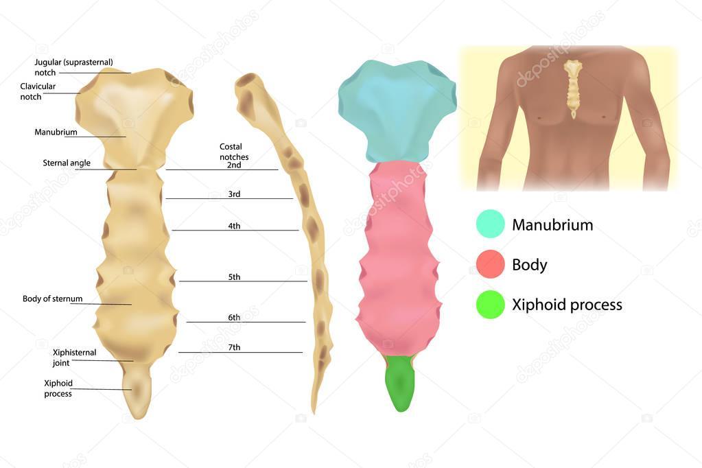Sternum Anatomy Articulations Parts Sternum Sternal Manubrium