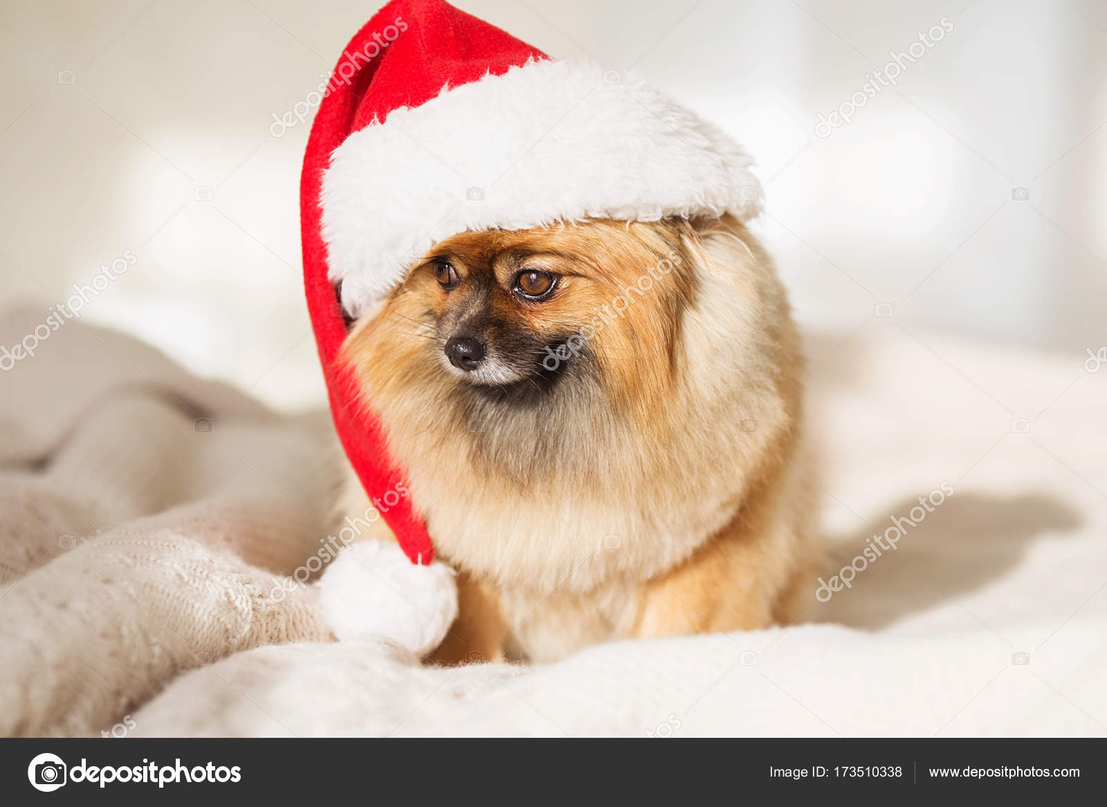 beautiful pomeranian puppy dog in red santa hat christmas dog happy new year card 2018 with the year dog symbol photo by natazhekova