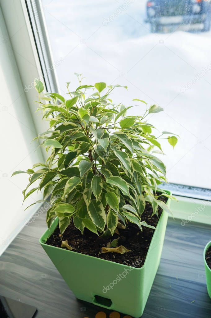 Ficus flower in orange pot on a window sill
