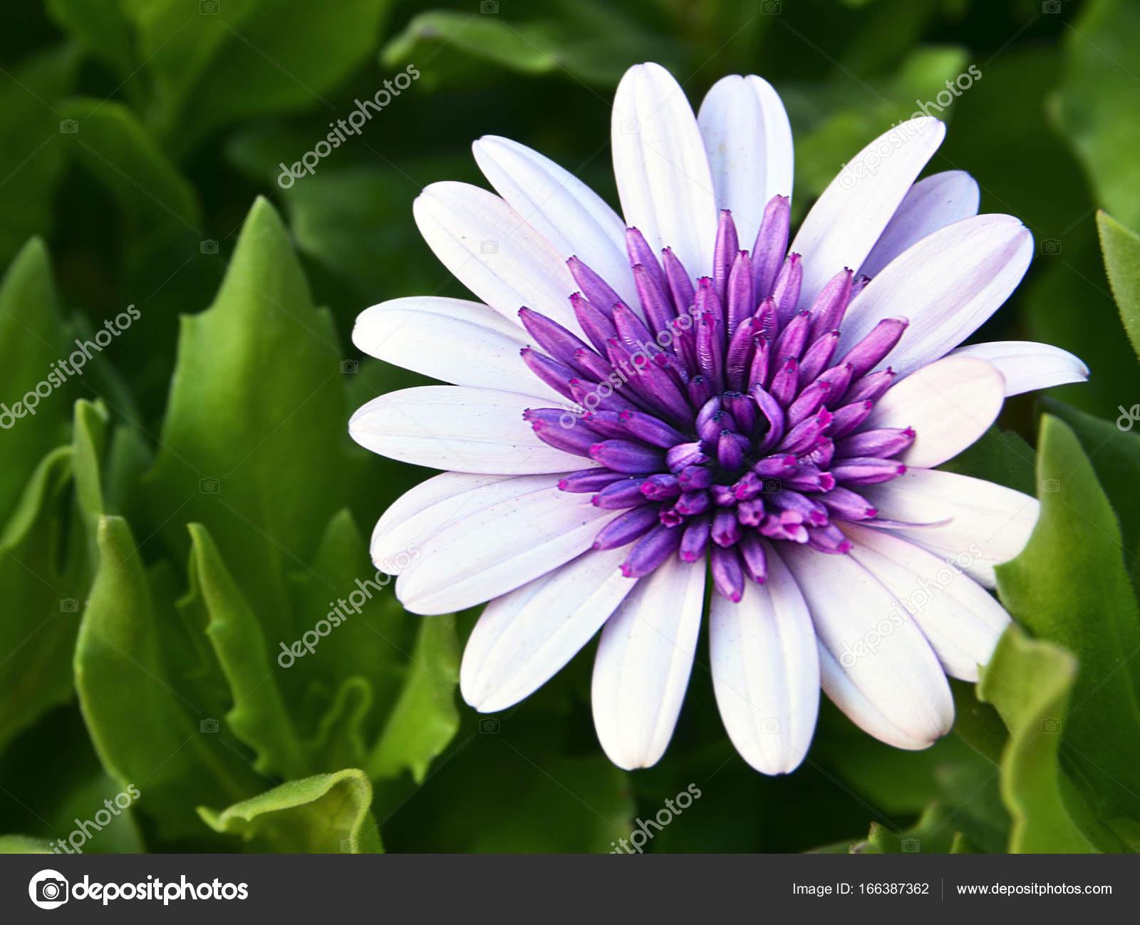 Dimorphotheca Ecklonis Flower Osteospermumafrican Daisydaisy